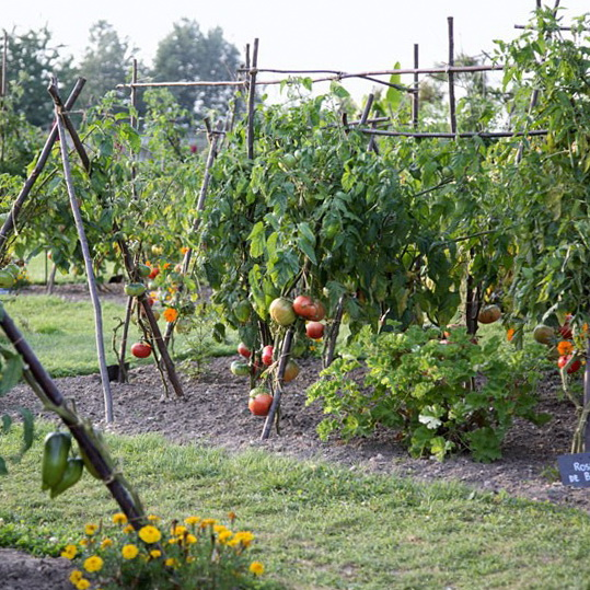 10-garden-jobs-in-may-Plant-out-tomatoes | Home Interior Design ...