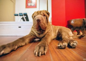71-Shar-Pei named Karma