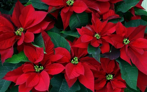 1-winter-blooming-indoor-flower-Christmas-Star-Flower-Poinsettia