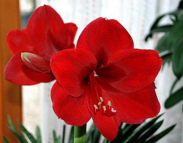 15-winter-blooming-indoor-flower-Hippeastrum