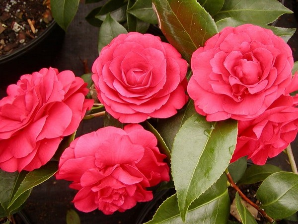 19-winter-blooming-indoor-flower-Japanese-Camellia