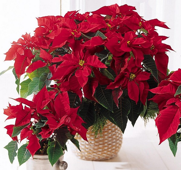 2-winter-blooming-indoor-flower-Christmas-Star-Flower-Poinsettia