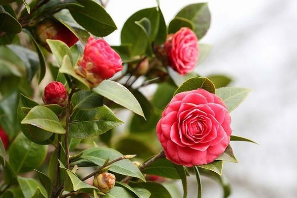 21-winter-blooming-indoor-flower-Japanese-Camellia
