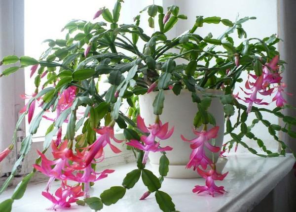 3-winter-blooming-indoor-flower-Christmas-Cactus-Schlumbergera