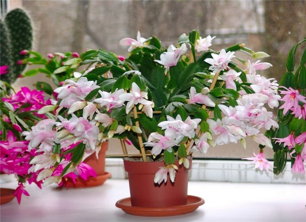 7-winter-blooming-indoor-flower-Christmas-Cactus-Schlumbergera