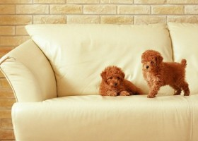 0-dogs-puppis-on-white-sofa