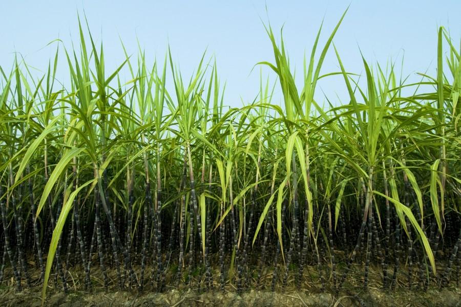 1-sugar-cane