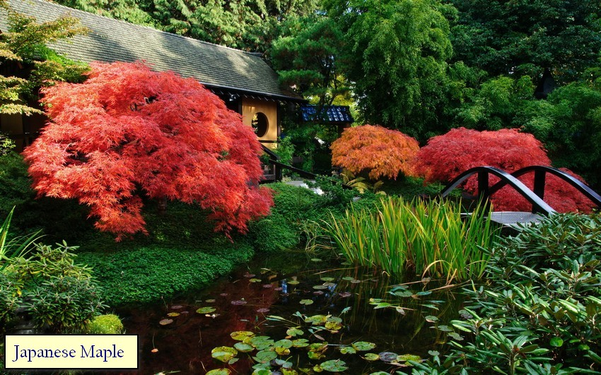 3-Japanese-garden-plants-maple-red