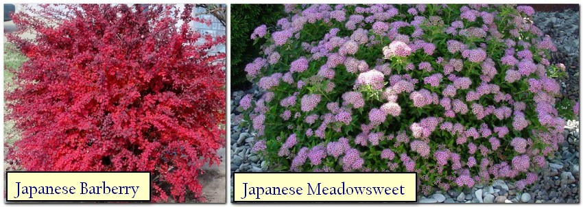 5-Japanese-garden-plants-Japanese-barberry-meadowsweet-red-shrub-lilac-flowers