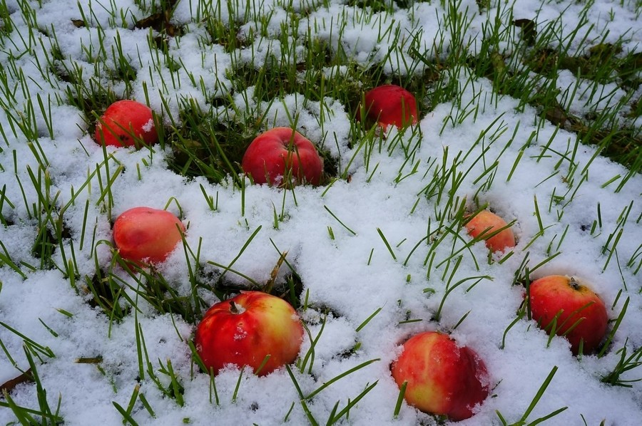 6-apples-on-snow-lawn-grass