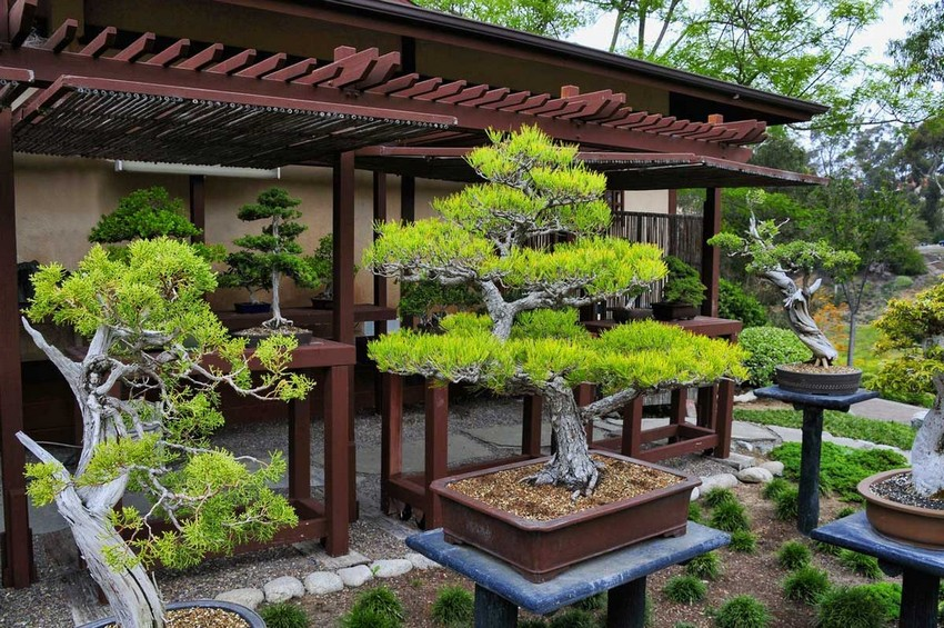 7-1-Japanese-garden-plants-bonsai