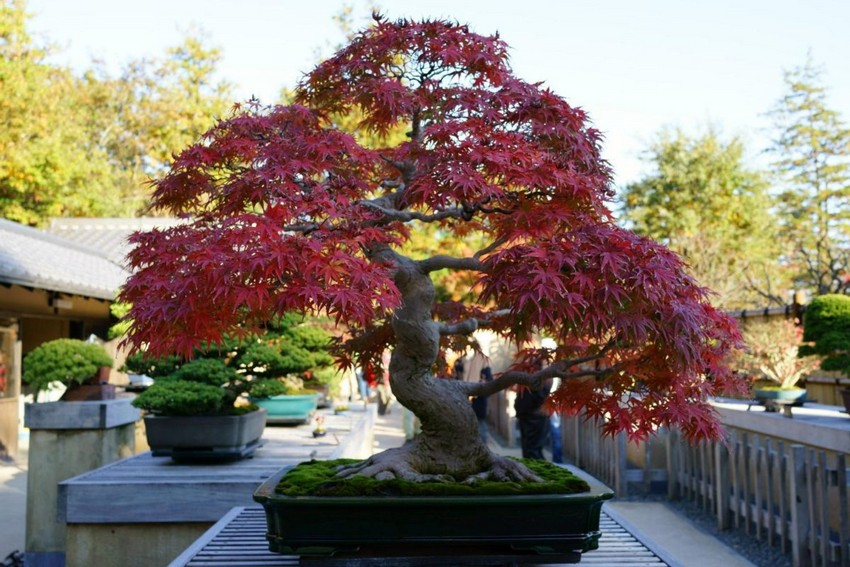 7-2-Japanese-garden-plants-bonsai