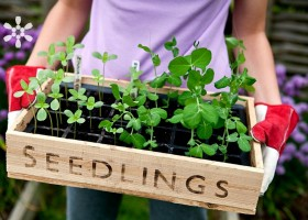 0-planting-seedlings-box