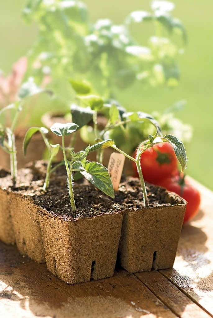 1-tomato-seedlings-in-peat-pots