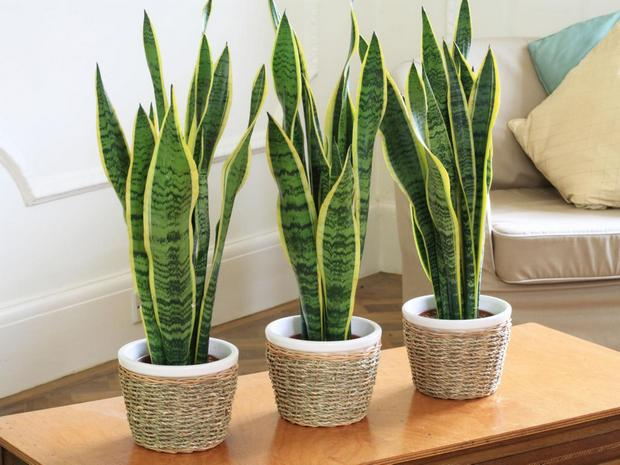 1-undemanding-indoor-plants-Sansevieria-mother-in-law's-snake-tongue-jute-decorated-pots-succulent-long-sword-leaves