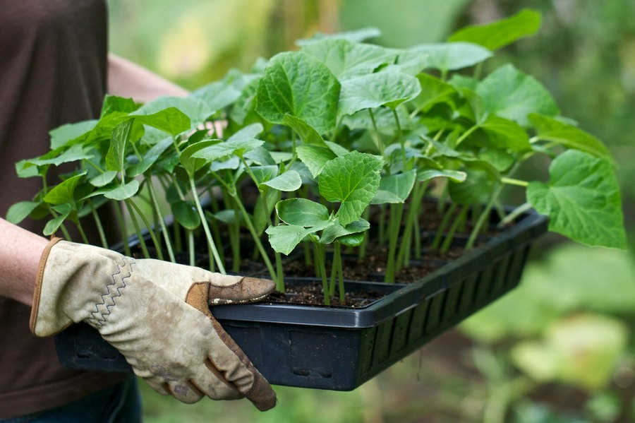 3-sound-healthy-seedlings-carried-in-container-tray-for-transplantation