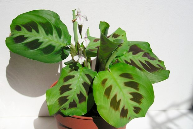 3-undemanding-indoor-plants-maranta-tropical
