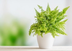 4-undemanding-indoor-plants-Nephrolepis-fern-species-potted
