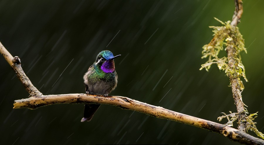 0-humming-bird-got-in-the-rain_cr