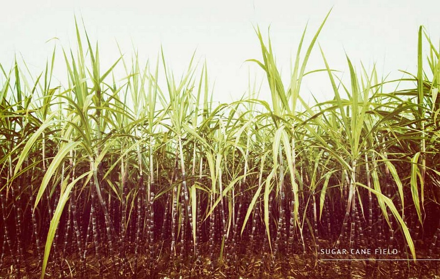 2-sugar-cane-field