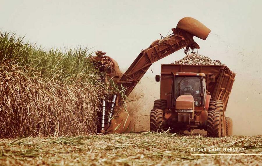 2-sugar-cane-harvest