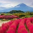 0-Kochia-scoparia-beautiful-ornamental-annual-plant-landscape-design-red-crimson