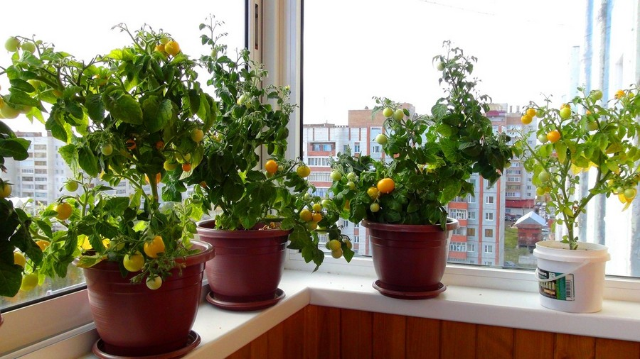 1-3-growing-cherry-tomatoes-on-the-balcony-garden