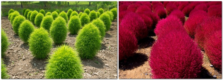 1-Kochia-scoparia-beautiful-ornamental-annual-plant-landscape-design-red-and-green