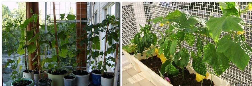 2-growing-cucumbers-vertically-fruit-frame-trellis-on-the-balcony-garden_cr
