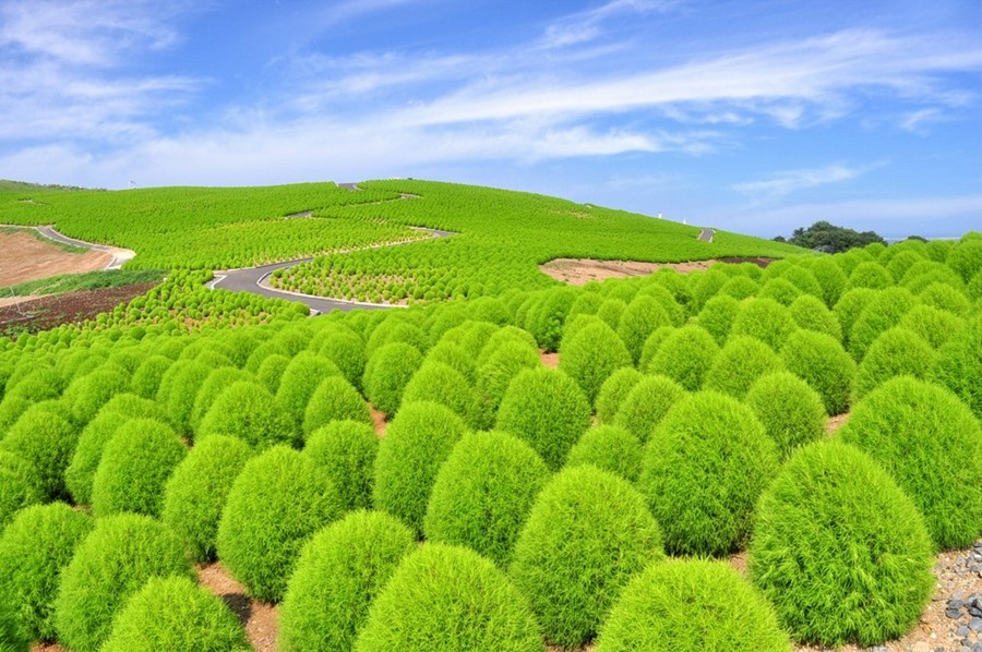 4-Kochia-scoparia-beautiful-ornamental-annual-plant-landscape-design