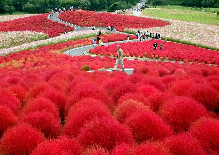 5-Kochia-scoparia-beautiful-ornamental-annual-plant-landscape-design-crimson-red-autumn-garden