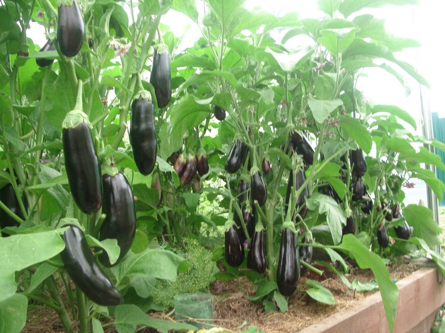 5-eggplants-aubergine-growing-in-wooden-containers-in-the-balcony-garden