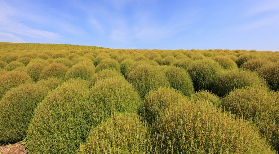 6-Kochia-scoparia-beautiful-ornamental-annual-plant-landscape-design