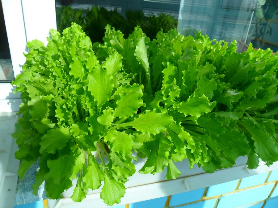 6-lettuce-grwoing-in-the-balcony-garden-box-container-window