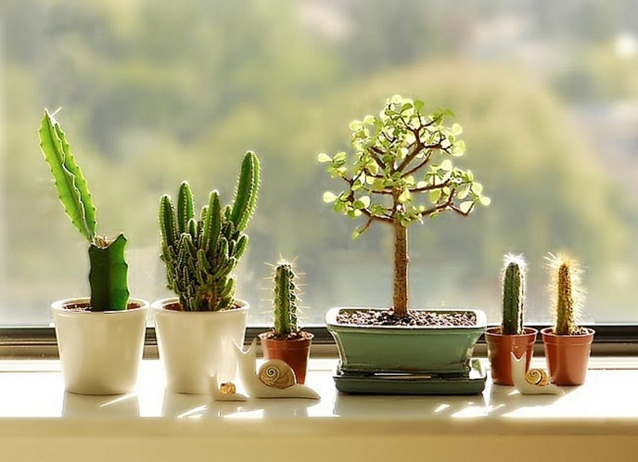 5-cacti-bonsai-tree-on-the-window-sill