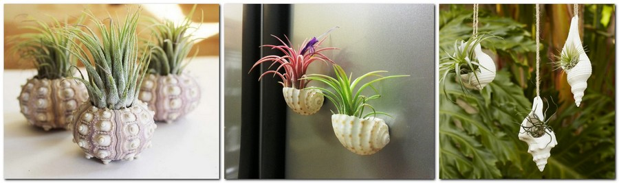 5-1-tillandsia-airplant-air-plant-aerophyte-epiphyte-ideas-in-interior-design-growing-in-sea-shell-wall-decor-pendants