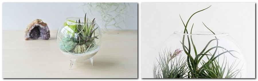 6-2-tillandsia-airplant-air-plant-aerophyte-epiphyte-ideas-in-interior-design-growing-in-a-glass-vase