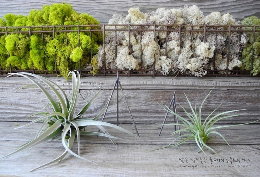 8-tillandsia-airplant-air-plant-aerophyte-epiphyte-ideas-in-interior-design-tripod-mounting
