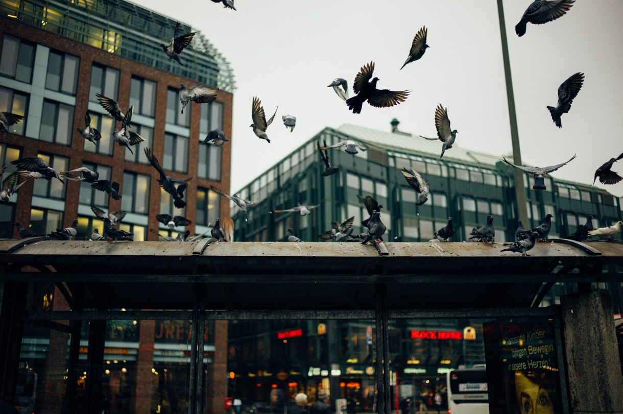 How to Control Feral Pigeons in Buildings