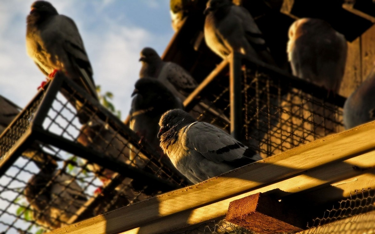 control-feral-pigeons-in-buildings (2)