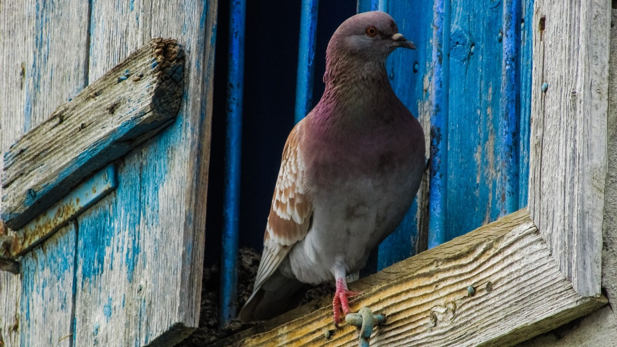 control-feral-pigeons-in-buildings (3)