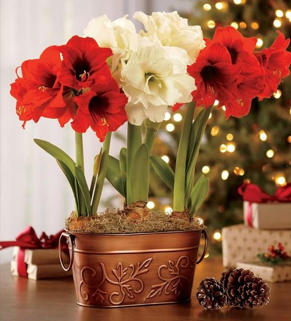 0-winter-blooming-indoor-flower-Hippeastrum