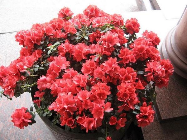10-winter-blooming-indoor-flower-azalea