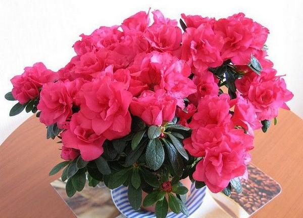 11-winter-blooming-indoor-flower-azalea
