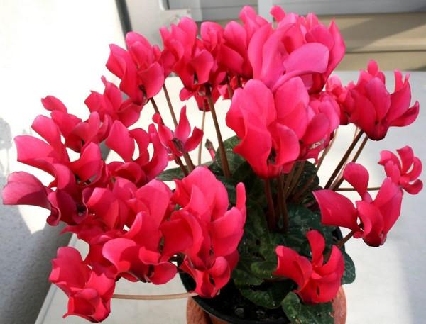 12-winter-blooming-indoor-flower-cyclamen