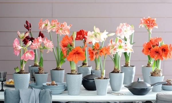 14-winter-blooming-indoor-flower-Hippeastrum