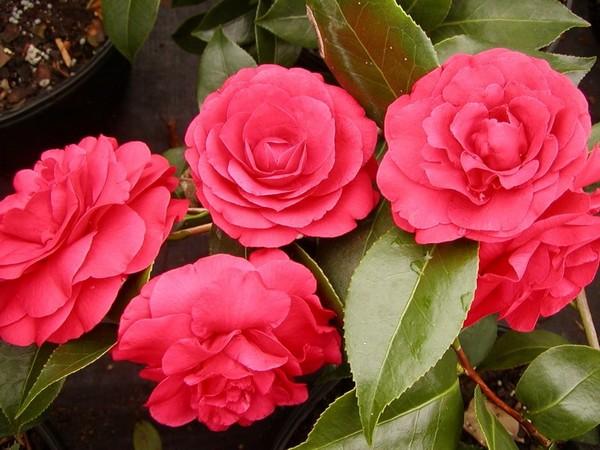 19-winter-blooming-indoor-flower-Japanese-Camellia