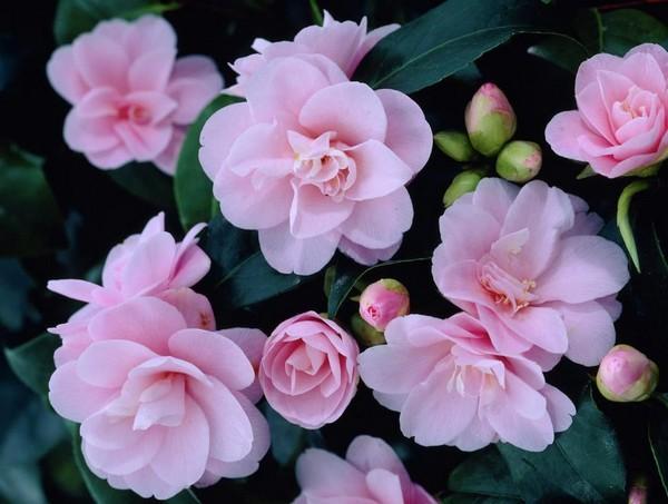 20-winter-blooming-indoor-flower-Japanese-Camellia