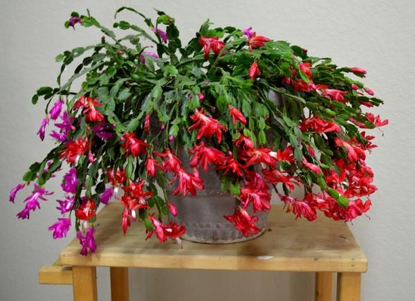 4-winter-blooming-indoor-flower-Christmas-Cactus-Schlumbergera