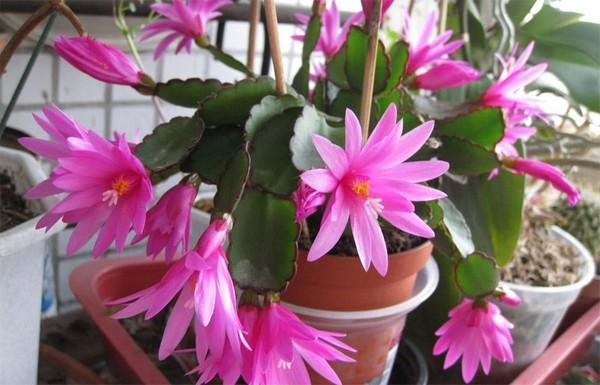 5-winter-blooming-indoor-flower-Christmas-Cactus-Schlumbergera